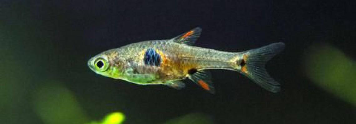 ساخت «ماهی» میکروسکوپی قابلیت سم زدایی